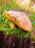 mushroom greasers