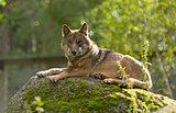 Grey Wolf (Canis lupus) Portrait - captive animalGrey Wolf (Cani