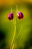 wild violet tulip flowers