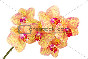 Branch of blossom Phalaenopsis orchid