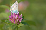 Common Blue (Polyomathus icarus)