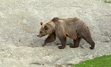 brown bear during summer