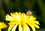 Marmalade Hoverfly on Flower