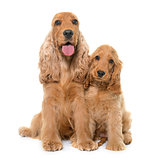 two cocker spaniel in studio