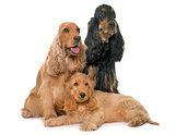 three cocker spaniel in studio