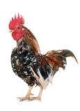 serama rooster in studio
