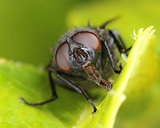 Housefly on green leaf macro