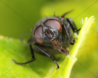 Housefly on green leaf macro