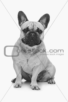 Beautiful french bulldog dog