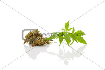 Cannabis foliage isolated on white background. Alternative medic