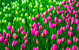 field of tulips. tulips flowers