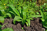 Bush Ramson or wild garlic, lat. allium ursinum