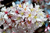 Cherry blossoms, spring background