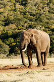 I need Water - African Bush Elephant
