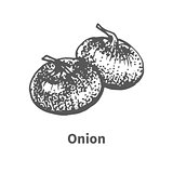 Vector illustration hand-drawn onion