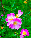 dog-rose. Rosehip. dog rose flower. A branch of a flowering wild