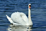 White mute Swan, lat. Cygnus olor, closeup