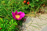 Wild rose growing on a sand dune