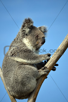 Koala sitting in gumtree