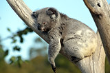 Australian Koala sleeping in a gum tree