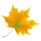 Orange Autumn maple leaf isolated on white background
