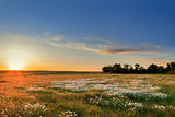 Sunset over a field of chamomile