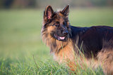 German shepherd dog long-haired outdoor portrait