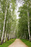 Birch alley in summer