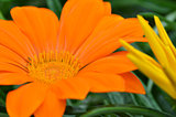 Beautiful orange gazania flower