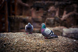 Two cute wild pigeon on the ruins of the Coliseum