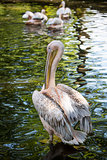White pelican on green lake.