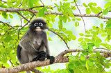Dusky leaf monkey or Trachypithecus obscurus on tree