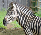 Beautiful zebra's head