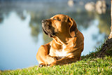Boerboel dog enjoying morning sun