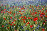 Colorful blossom field