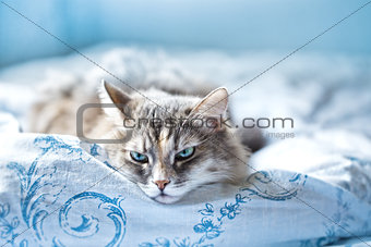 gray Cat comfortably lies in a blue fabric linen