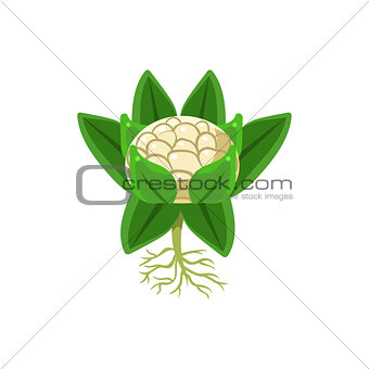Fresh Cauliflower Primitive Realistic Illustration