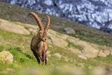 Ibex , Range of Mont-Blanc , French Alps