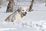 a yellow labrador in winter in snow