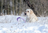 yellow labrador in winter in snow with a toy