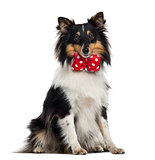 Shetland Sheepdog isolated on white
