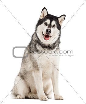 Alaskan Malamute isolated on white