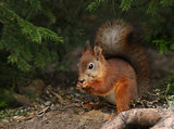 Red squirrel in green forest environment