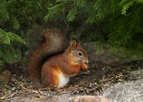 Red squirrel in natural forest environment