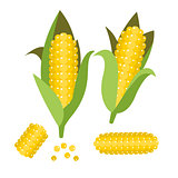Corn vector illustration. Maize ear or cob.