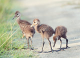 Limpkin Chicks in Florida Wetlands