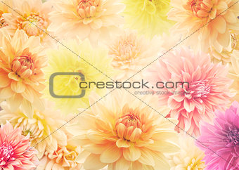 Dahlia Flowers  for Background