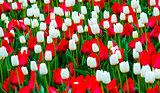 field of tulips. red and white tulips