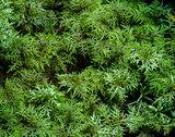 Moss Hylocomium splendens
