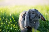 Gray rabbit in short green grass